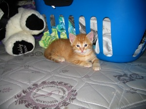My very first picture of Atticus. He saw his meal ticket the second he saw me. While all the other kittens were playing around with each other, he marched right up to me, sat in my lap and started purring.