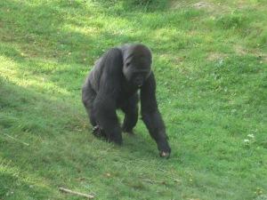 More gorilla