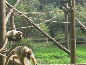 Monkey, boy watching.
